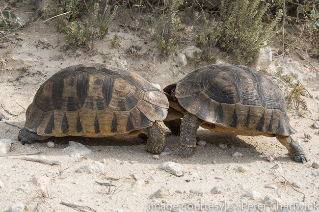 angulate tortoise males sparring by wildlife and conservation photographer peter chadwick