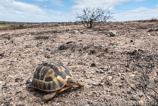 angulate tortoise in burnt veld by wildlife and conservation photographer peter chadwick