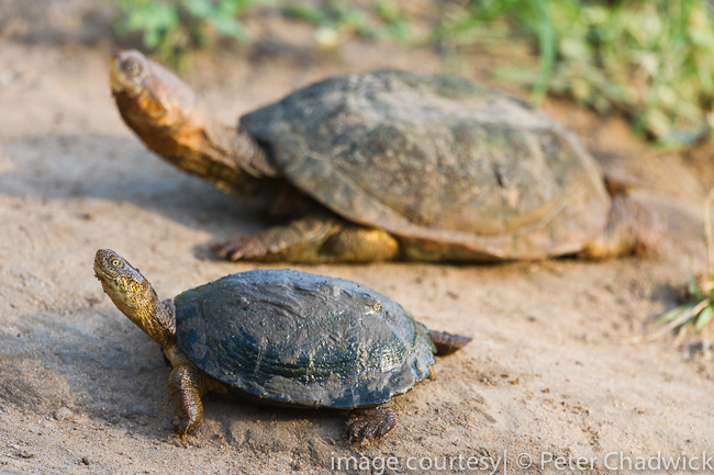 Marsh terrapins sunning by wildlife and conservation photographer peter chadwick