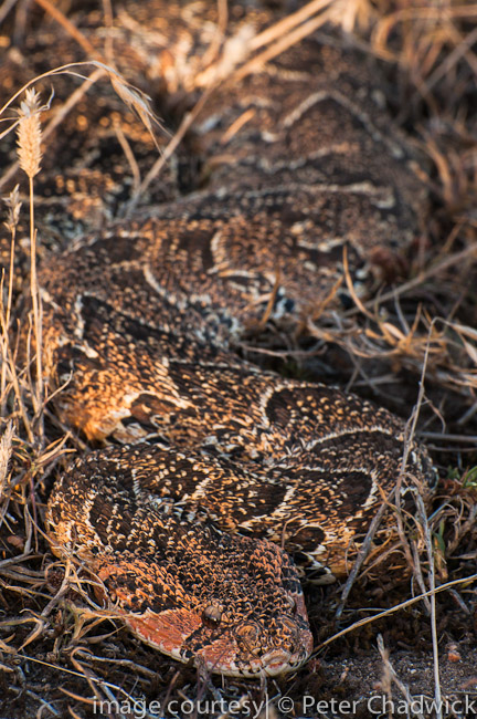 puff adder lying well camoflauged in dry grass by wildlife and conservation photographer peter chadwick