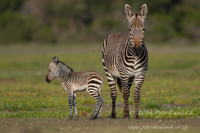 Cape Mountain Zebra and foal by wildlife and conservation photographer Peter Chadwick
