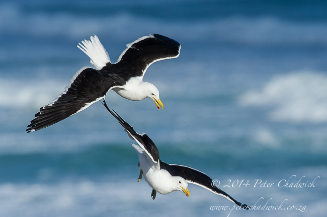 Kelp gull pair in flight by wildlife and conservation photographer Peter Chadwick
