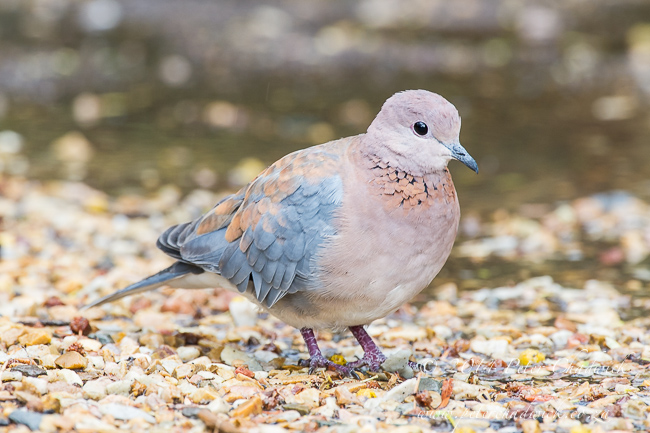 Laughing Dove by wildlife and conservation photographer Peter Chadwick