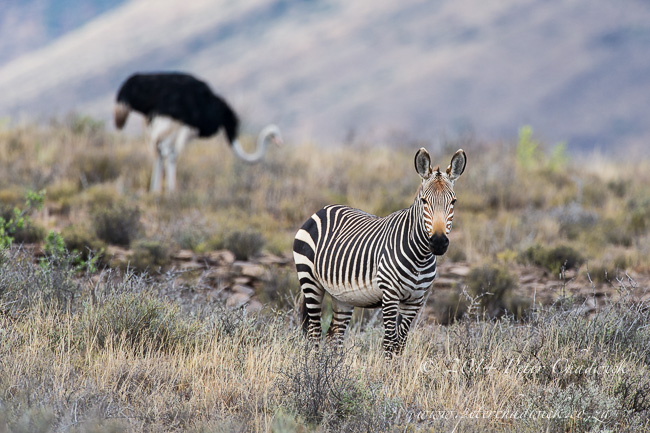 Cape Mountain Zebra stallion by wildlife and conservation photographer Peter Chadwick