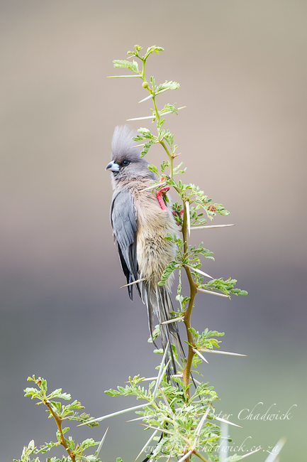 White-Backed Mousebird by wildlife and conservation photographer Peter Chadwick