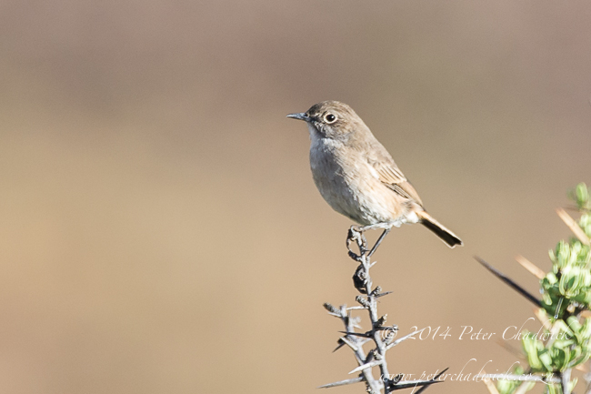 Sickle-Winged Chat by wildlife and conservation photographer Peter Chadwick