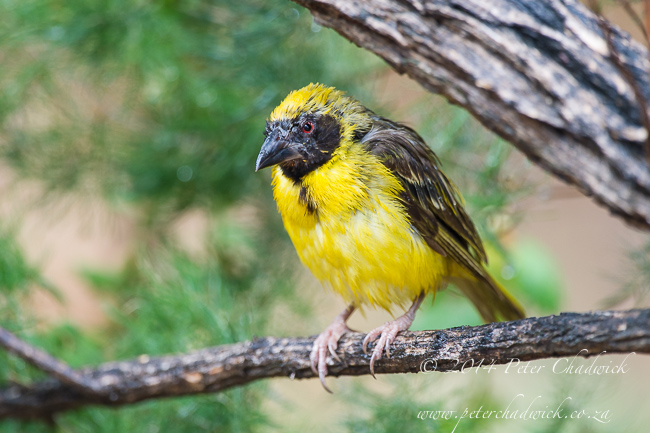 Southern Masked Weaver male by wildlife and conservation photographer Peter Chadwick