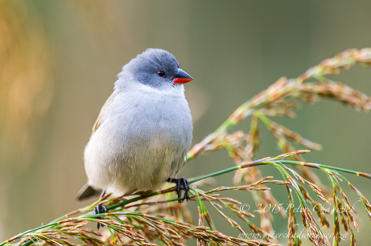 Swee Waxbill_©peter chadwick–African Conservation Photography