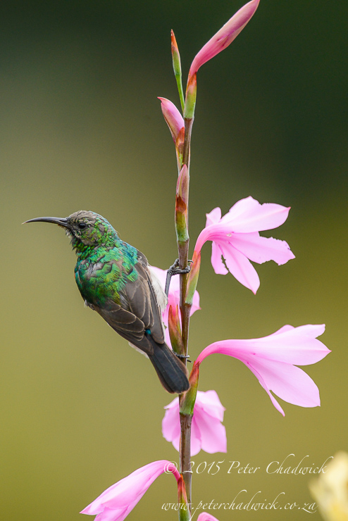Southern Double-Collared Sunbird PeterChadwick AfricanConservationPhotography