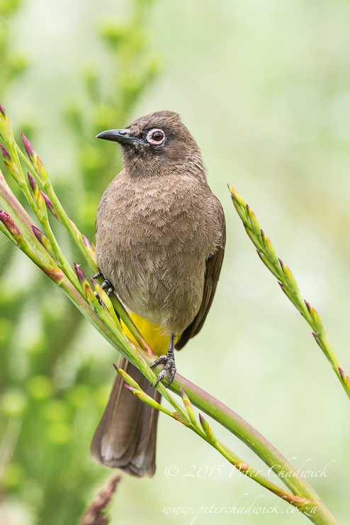 Cape Bulbul PeterChadwick AfricanConservationPhotography