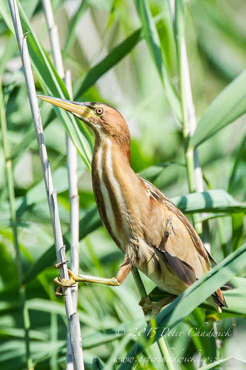 Little Bittern_PeterChadwick_AfricanConservationPhotography