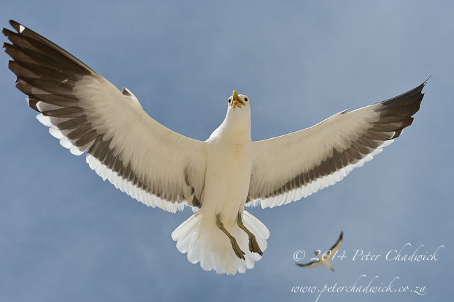 Hovering Kelp Gull by wildlife and conservation photographer Peter Chadwick