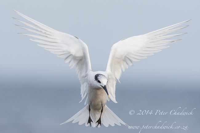 Hovering Sandwich Tern by wildlife and conservation photographer Peter Chadwick