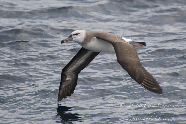black browed albatross juvenile by wildlife and conservation photographer Peter Chadwick