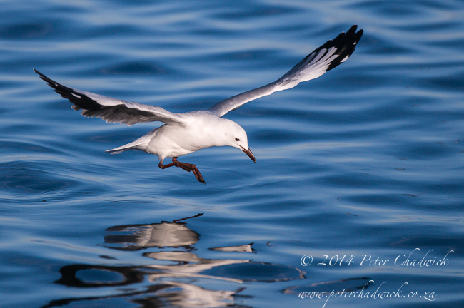 Hovering Hartlaubs Gull by wildlife and conservation photographer Peter Chadwick