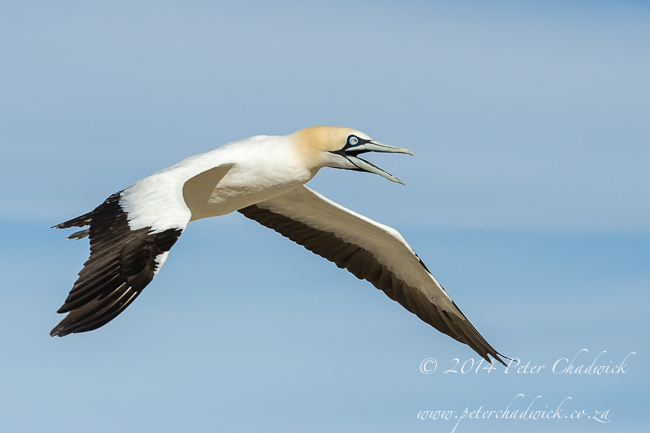 Cape Gannet by wildlife and conservation photographer Peter Chadwick