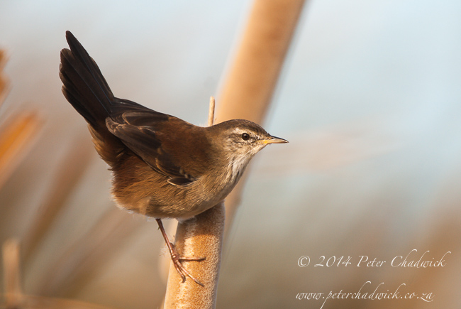 Little Rush Warbler by wildlife and conservation photographer Peter Chadwick
