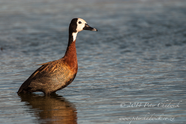 White Faced Duck by wildlife and conservation photographer Peter Chadwick