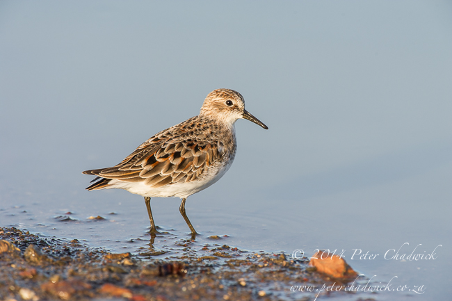 Little Stint by wildlife and conservation photographer Peter Chadwick