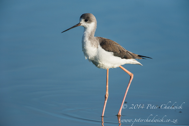 Juvenile Black-Winged Stilt by wildlife and conservation photographer Peter Chadwick