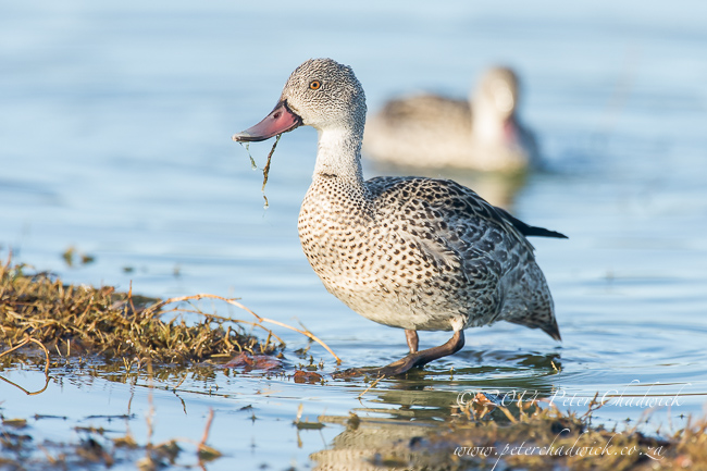 Cape Teal by wildlife and conservation photographer Peter Chadwick