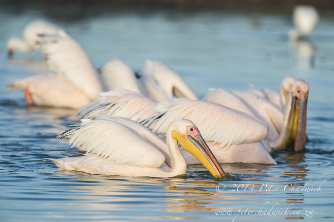 Great White Pelicans by wildlife and conservation photographer Peter Chadwick