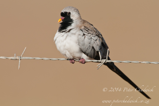 Male Namaqua Dove by wildlife and conservation photographer Peter Chadwick