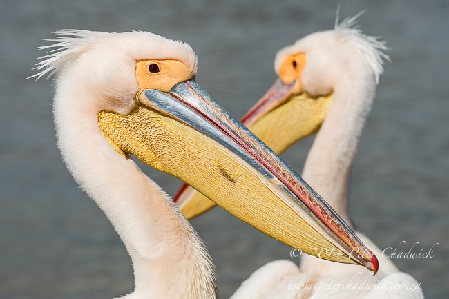 Great White Pelican pair by wildlife and conservation photographer Peter Chadwick