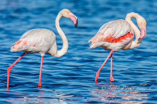 Greater Flamingo pair by wildlife and conservation photographer Peter Chadwick