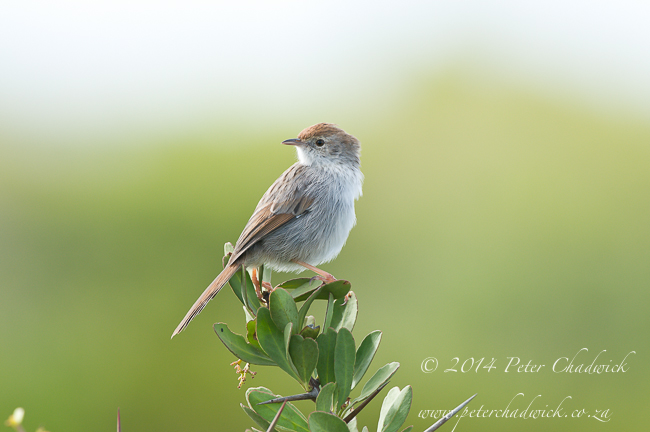 Grey-Backed Cisticola by wildlife and conservation photographer Peter Chadwick
