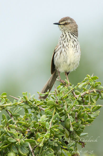 Karoo Prinia by wildlife and conservation photographer Peter Chadwick