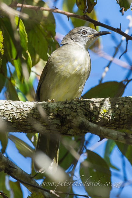 yellow streaked greenbul by wildlife and conservation photographer Peter Chadwick
