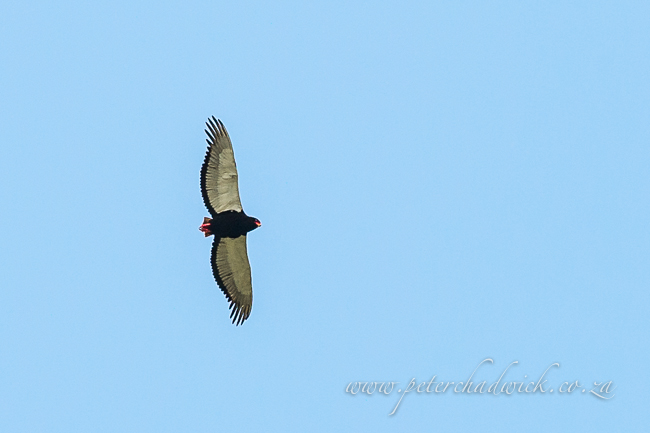 Female Bateleur by wildlife and conservation photographer Peter Chadwick