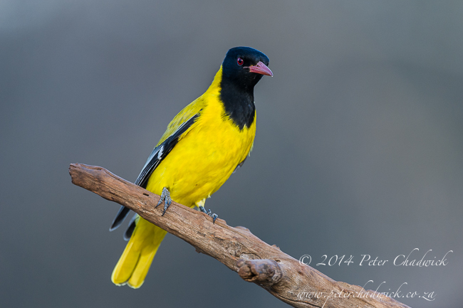 Black-headed Oriole by wildlife and conservation photographer Peter Chadwick