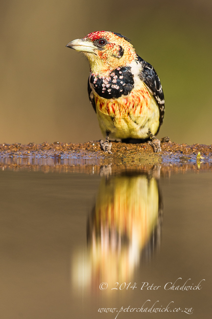 Crested Barbet by wildlife and conservation photographer Peter Chadwick