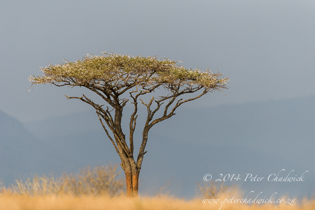 Flat-crowned acacia by wildlife and conservation photographer Peter Chadwick