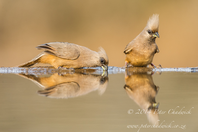 Drinking speckled mousebirds by wildlife and conservation photographer Peter Chadwick