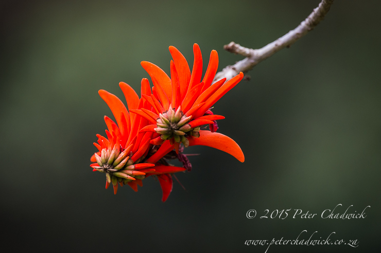 Coral Tree Flowers-PeterChadwick_AfricanConservationPhotographer