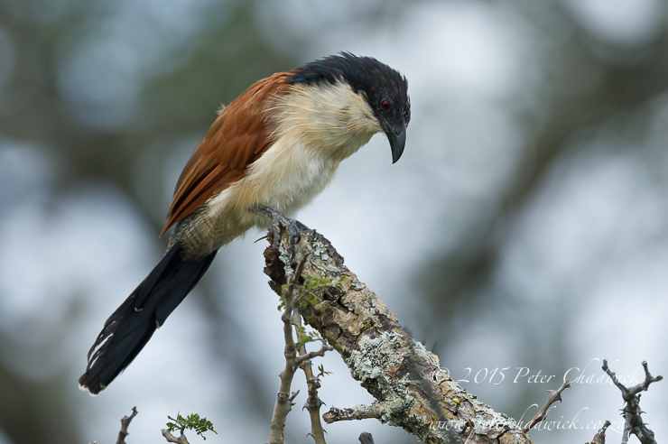 Burchells Coucal_PeterChadwick_AfricanConservationPhotographer
