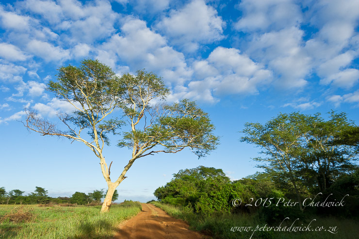 Fever Tree_PeterChadwick_AfricanConservationPhotographer