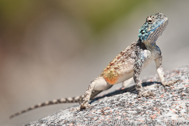 agama atra by wildlife and conservation photographer Peter Chadwick