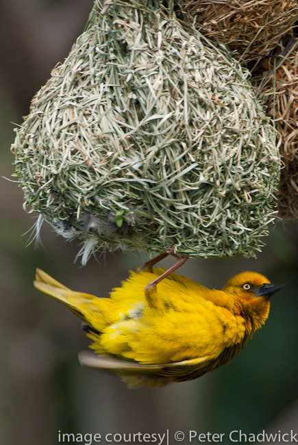 male cape weaver displaying below nest by wildlife and conservation photographer Peter Chadwick