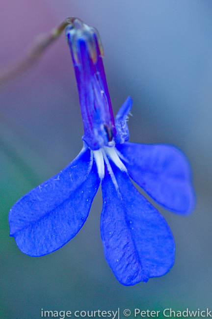 lobelia setacea by wildlife and conservation photographer Peter Chadwick
