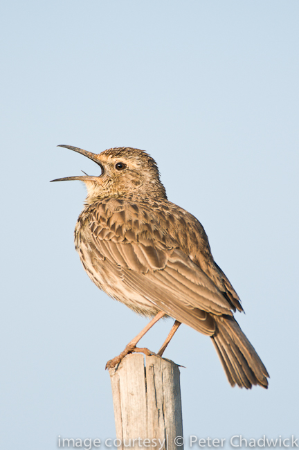 agulhas long billed lark singing from fence post by wildlife and conservation photographer Peter Chadwick