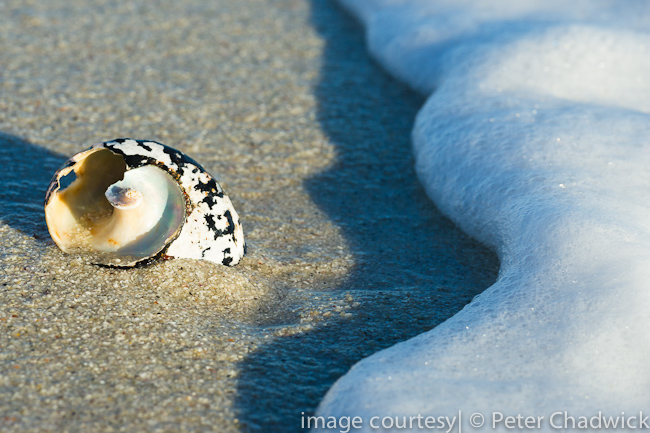 shel on the beach by wildlife and conservation photographer Peter Chadwick
