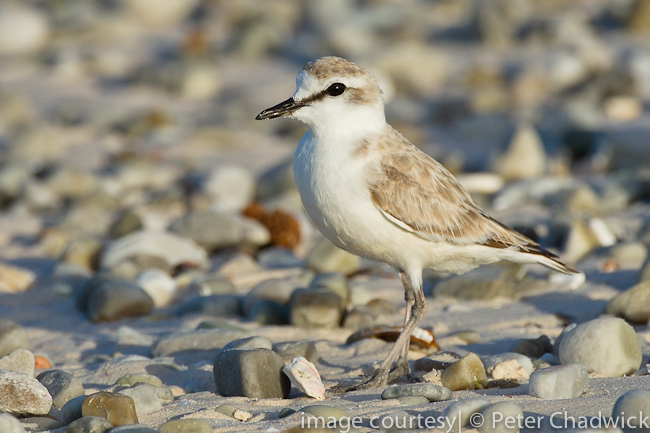 white-fronted plover by wildlife and conservation photographer Peter Chadwick