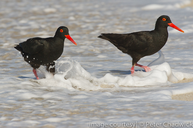 african black oystercatchers in the surf by wildlife and conservation photographer Peter Chadwick