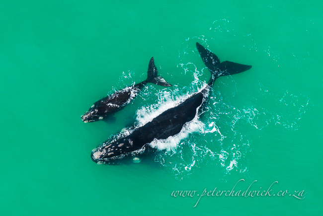 southern right whale mother calf surfacing by wildlife and conservation photographer peter chadwick