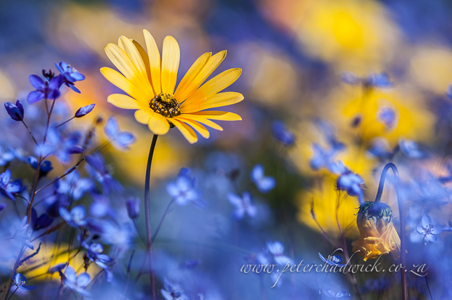 Yellow daisy amongst blue flowers by wildlife and conservation photographer peter chadwick