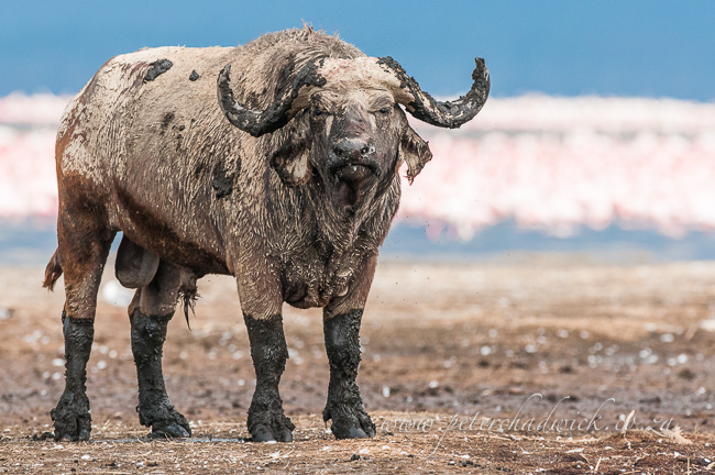 Cape Buffalo Bull after wallowing by wildlife and conservation photographer peter chadwick